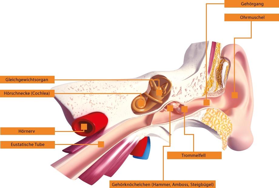 Tolle Anatomie Trommelfells Galerie - Anatomie Ideen - finotti.info
